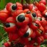 Organic-Guarana